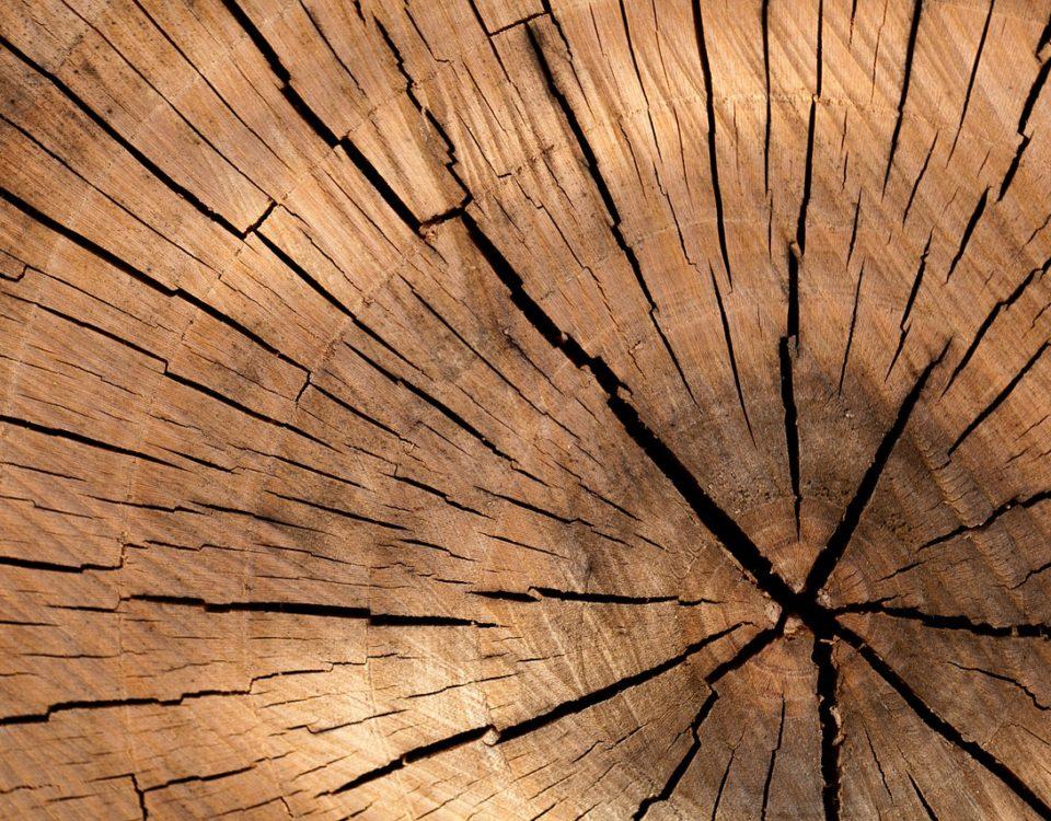 sęk drewna